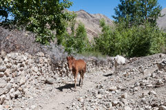 Wild brown foal baby horse mountain valley path way Stock Photos