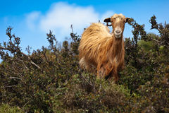 Wild brown goat Royalty Free Stock Photography