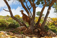 Wild brown goat Stock Photo