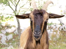 Wild brown goat. In the mountains Royalty Free Stock Images