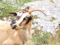 Wild brown goat. In the mountains Stock Image
