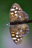 Wild brown grey orange butterfly  on. Front of wild brown grey orange butterfly  on a brown branch in the bush Stock Photography