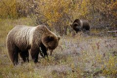 Grizzly bear with her cub in wild north America. Wild brown grizzly bear with her cub in beautiful landscape in north America royalty free stock image