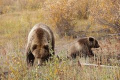 Grizzly bear with her cub in wild north America. Wild brown grizzly bear with her cub in beautiful landscape in north America royalty free stock photography