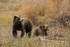 Grizzly bear with her cub in wild north America. Wild brown grizzly bear with her cub in beautiful landscape in north America stock photography