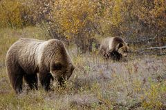 Grizzly bear with her cub in wild north America. Wild brown grizzly bear with her cub in beautiful landscape in north America stock photo
