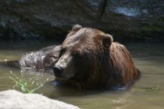 Beautiful view of a brown grizzly bathing Stock Photos