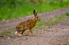 Wild brown hare with big ears sitting in a grass Royalty Free Stock Photography
