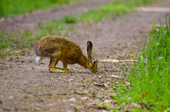 Wild brown hare with big ears sitting in a grass Royalty Free Stock Image