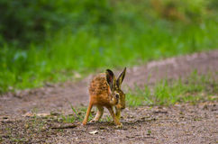 Wild brown hare with big ears sitting in a grass Stock Photos