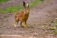 Wild brown hare with big ears sitting in a grass Royalty Free Stock Images