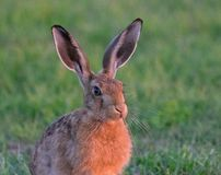 Wild brown hare chewing the fat stock images