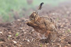 Wild brown hare with eyes closed, having a morning wash 0124. Wild brown hare with eyes closed, having a morning wash in a field with crops just starting to grow Royalty Free Stock Image