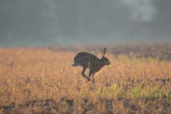 Wild brown hare on the run sideways on. Very fast wild brown hare Royalty Free Stock Photo