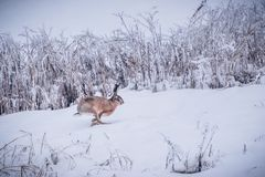 Wild brown hare running in snow Lepus europaeus royalty free stock images