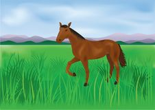 The wild brown horse grazes on the meadow Stock Image
