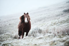 Wild brown horse on a welsh mountain Royalty Free Stock Photo