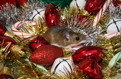 A wild brown house mouse Mus musculus, sitting, looking guilty, in the middle of a pile of Christmas decorations. A side view of a house mouse sitting on Xmas Royalty Free Stock Photos