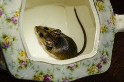 A wild brown house mouse sitting very content in the bottom of a tea pot. Full back view of a wild brown house mouse, Mus musculus, on the bottom of a flowered Royalty Free Stock Images