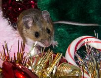 A wild brown house mouse sitting on a pile of Christmas decorations. A wild brown house mouse surrounded by Christmas decorations.  There is red, gold and Royalty Free Stock Images