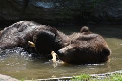 Brown kodiak bear floating on its side. Wild brown Kodiak bear floating on its side Stock Image