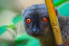 Wild brown lemur. Madagascar Stock Photos