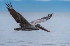 Wild Brown Pelican Bird Flying Over The Sea Royalty Free Stock Photos