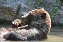 Brown Peninsular grizzly floating on its back Royalty Free Stock Photography