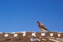 Wild brown pigeon. Sitting on a wooden visor in Egypt stock photography