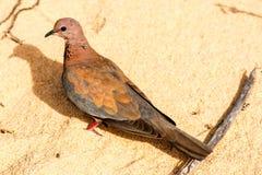 Wild Brown Pigeon in Western Australia stock photos