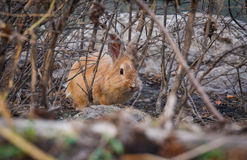 Wild Brown rabbit Royalty Free Stock Photography