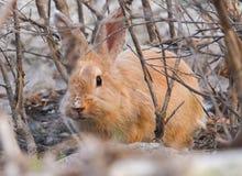 Wild Brown rabbit Stock Images