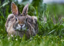 Wild brown rabbit rest alert in the grass. Wild brown rabbit rest squatting down alert in the green grass Stock Photography