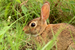 Wild Brown Rabbit Sitting in Grass - Closeup Royalty Free Stock Photos