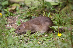 Wild Brown Rat. Eating seeds, and grain Stock Photography