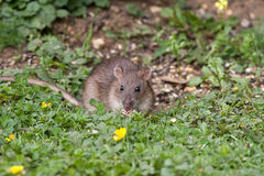 Wild Brown Rat. Eating seeds, and grain Stock Images