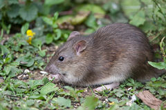 Wild Brown Rat. Eating seeds, and grain Royalty Free Stock Photo