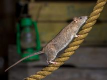 Brown rat on walking on anchor rope stock photography
