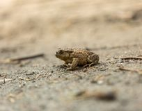 Wild brown toad walking on sand Stock Images