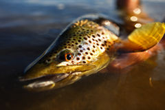 Wild Brown Trout Royalty Free Stock Photos