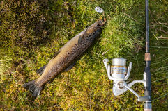 Wild brown trout caught on a spinner with rod and reel Stock Images