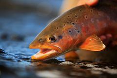 Wild Brown Trout Portrait Royalty Free Stock Photos