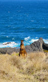 Wild brown wallaby by the seaside in Victoria, Australia Royalty Free Stock Photos