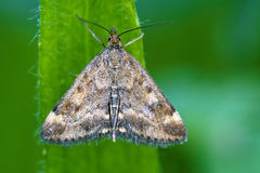 Wild brown white butterfly  on a green leaf Stock Images