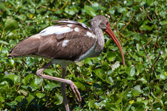 A Wild Brown and White Colored Ibis Hunting for a Fish. (Eudocimus albus). Royalty Free Stock Photos