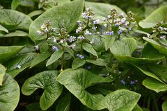 Wild brunnera. Brunnera macrophylla. Large green leaves and inflorescences with small blue flowers have formed continuous thickets stock images