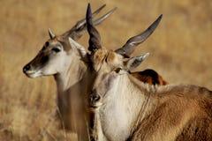 Wild Buck stock photos