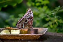Wild buckeye butterfly Royalty Free Stock Image