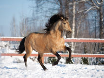 Wild buckskin Lusitano in winter. The wild buckskin Lusitano in winter Royalty Free Stock Image