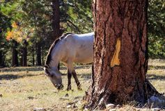 Wild Mustang grazing in the mountain forest. A wild buckskin Mustang grazing in the Chuska Mountains, in Western New Mexico.   This herd is located in near Royalty Free Stock Photos